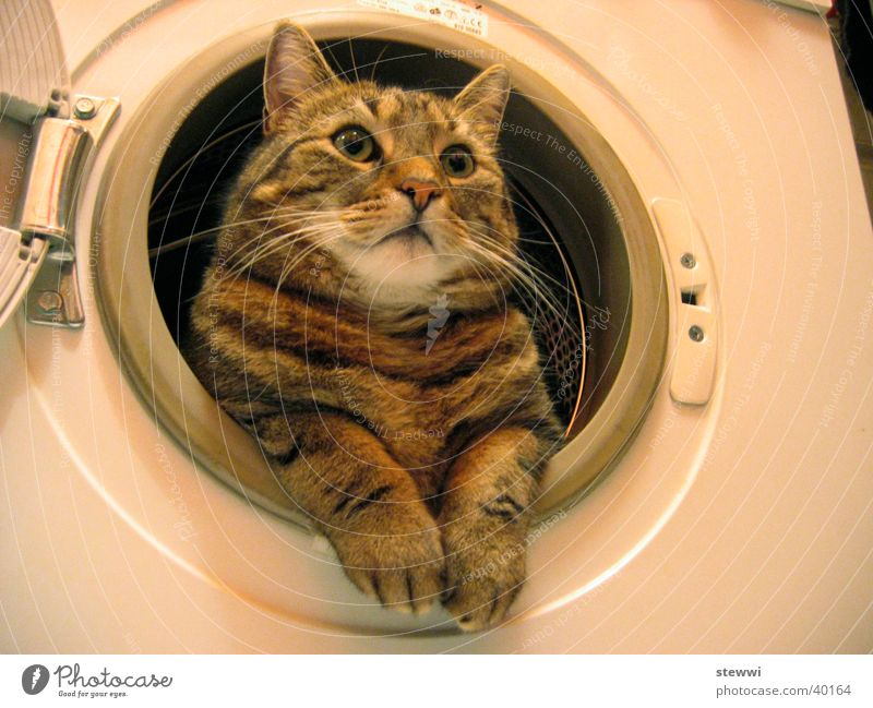 Waschmietz Katze Fell Reinigen Sauberkeit Waschmaschine Nest Bullauge Wäsche Waschen Körperpflege schonwäsche Hauskatze Starrer Blick lustig skurril