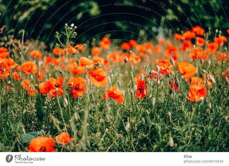 Blühendes Mohnblumenfeld Blumen Feld Wiese blühend rot Frühling Sommer Blüte Natur Mohnblüte mohnblumen wild Blumenwiese Blumenfeld Pflanze Mohnfeld Sonnenlicht