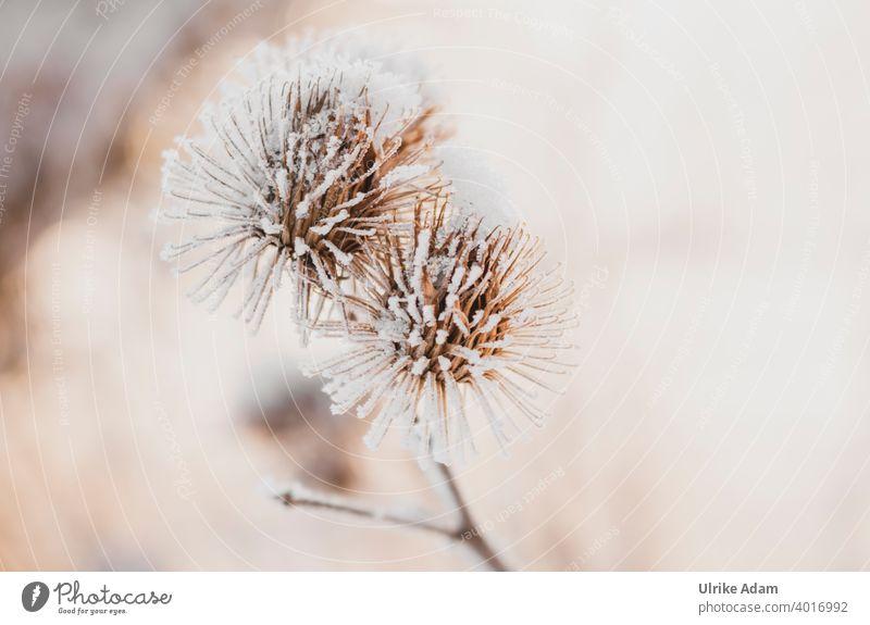 Raureif an verblüten Disteln Rauhreif Winter Schnee Verblüht Trauer Trauerkarte Eis Kalt Frost Natur kalt Pflanze Außenaufnahme Farbfoto Menschenleer weiß