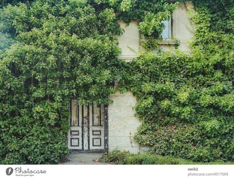 Naturbelassen Haus Zingst Mauer Wand Hecke Wildpflanze Pflanze Wandverkleidung Efeu Fassade Fenster Tür Wachstum gruselig Stadt stagnierend gewissenhaft
