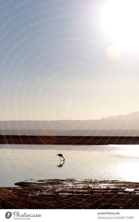 Ein Flamingo in der Atacama-Wüste in Chile, Südamerika. Foto: Alexander Hauk Tier tiere flamingo atacam wüste atacama-wüste südamerika chile außenaufnahme