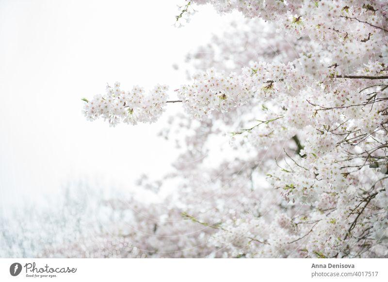 Weiß blühender Kirschbaum während der Frühlingssaison Sakura Blüte Kirsche Baum Hintergrund Blume rosa Natur weiß Garten Saison Überstrahlung vereinzelt Park