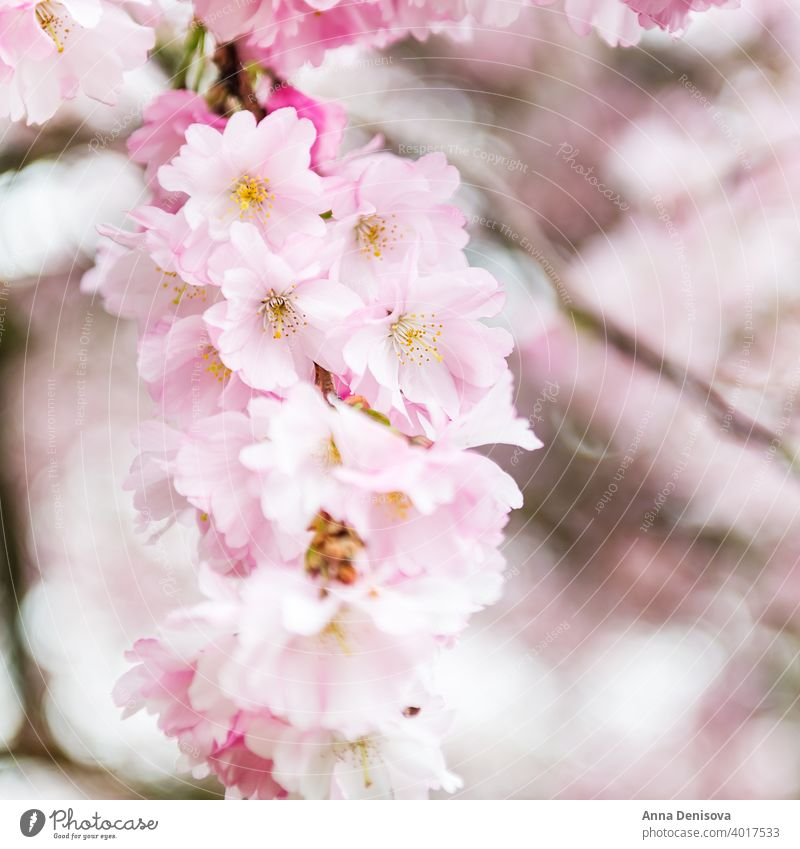 Nahaufnahme von rosa Blüte Kirschbaum Zweig, Sakura Blumen Kirsche Baum Frühling Hintergrund Natur weiß Garten Saison Überstrahlung vereinzelt Park Ast geblümt