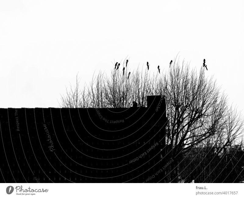 Konferenz der Elstern Himmel Rabenvogel Wildvogel monogam Paar Baum Natur Tier Vogel Dach Dächer Winter