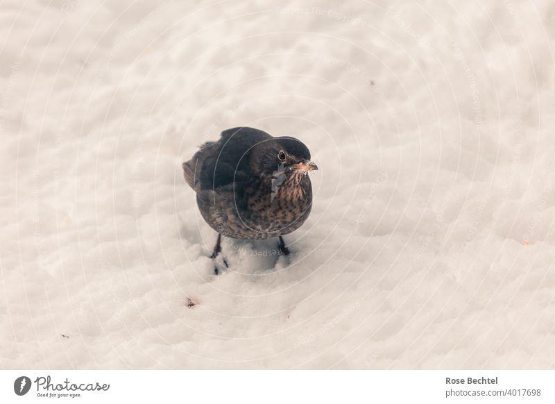 Amselfrau im Schnee Amselweibchen Turdus merula Vogel Tier Natur Außenaufnahme Farbfoto Wildtier Tierporträt Blick in die Kamera Menschenleer