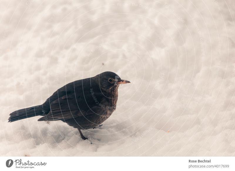 Amselfrau im Schnee Amselweibchen Turdus merula Vogel Tier Natur Außenaufnahme Farbfoto Wildtier Tierporträt Menschenleer