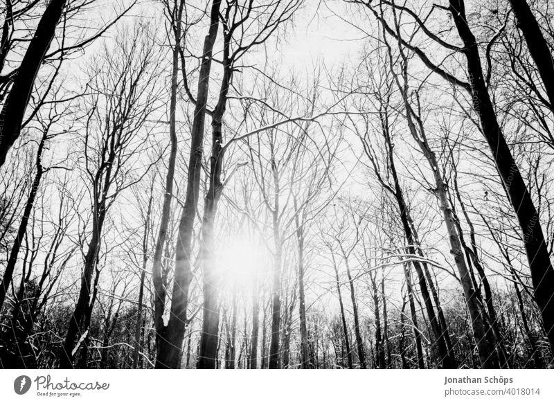 Winterwald mit Sonne schwarzweiß Weitwinkel Froschperspektive Bäume Februar Gegenlicht Himmel Jahreszeit Schnee Wald kalt nach oben sonne weitwinkel Natur Baum