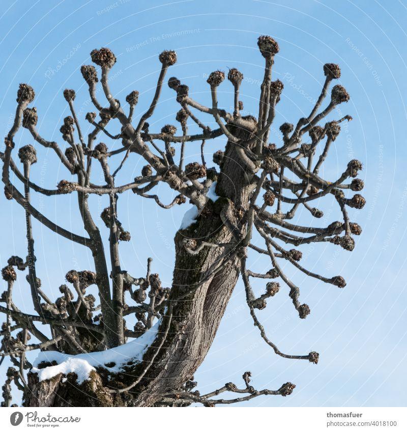 beschnittener Baum mit Kugelenden im Winter Himmel blau Wolken Baumschnitt Baumnarben Schnee Ast