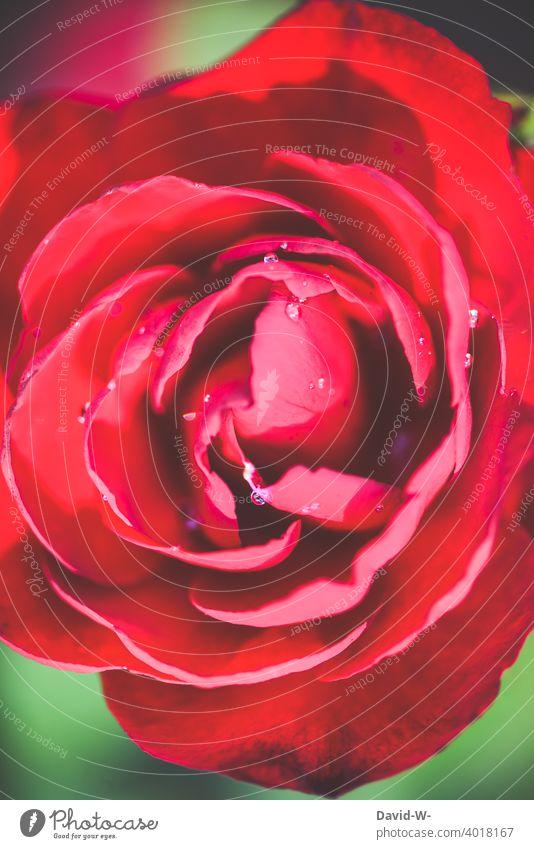 Nahaufnahme einer roten Rose Blüte duften Liebeserklärung Muttertag Valentinstag Liebesgruß Romantik