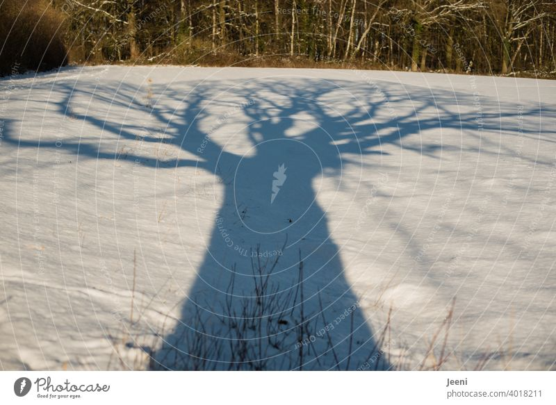 Eine uralte große Eiche am Wegesrand wirft einen riesigen Schatten auf das schneebedeckte Feld im Sonnenschein Baum Baumstamm Baumkrone Feldrand Wald