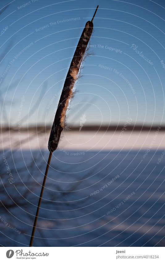 Einzeln stehender Rohrkolben am Ufer des zugefrorenen Sees | blauer Himmel an einem kalten Wintertag Rohrkolbengewächse Rohrkolbenpflanze Schilfrohr Röhricht
