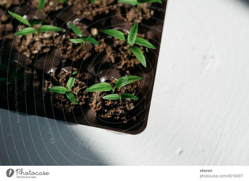 Pflanzenwachstum auf dem Boden. Frühe Sämlinge, die aus Samen in Kästen zu Hause auf der Fensterbank gezogen werden. Das Konzept der Vorbereitung auf die Pflanzsaison in der Landwirtschaft. Tomatensämlinge auf der Fensterbank.