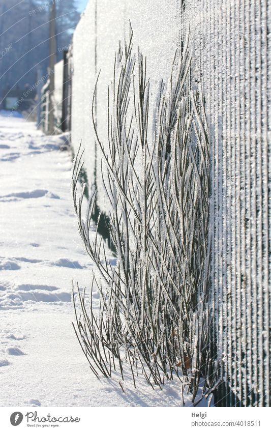 Pflanze am Zaun mit Raureif bedeckt im Gegenlicht Winter Kälte Eiskristalle Gras Frost kalt gefroren Natur frieren Winterstimmung frostig Außenaufnahme