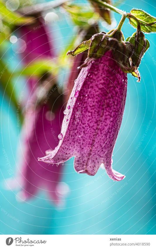 Rosafarbene Glockenblüte vor hellblauem Hintergrund mit Wassertropfen Blüte Campanula Blume rosa magenta Pflanze Gartenpflanze schön Tropfen nass Sommer