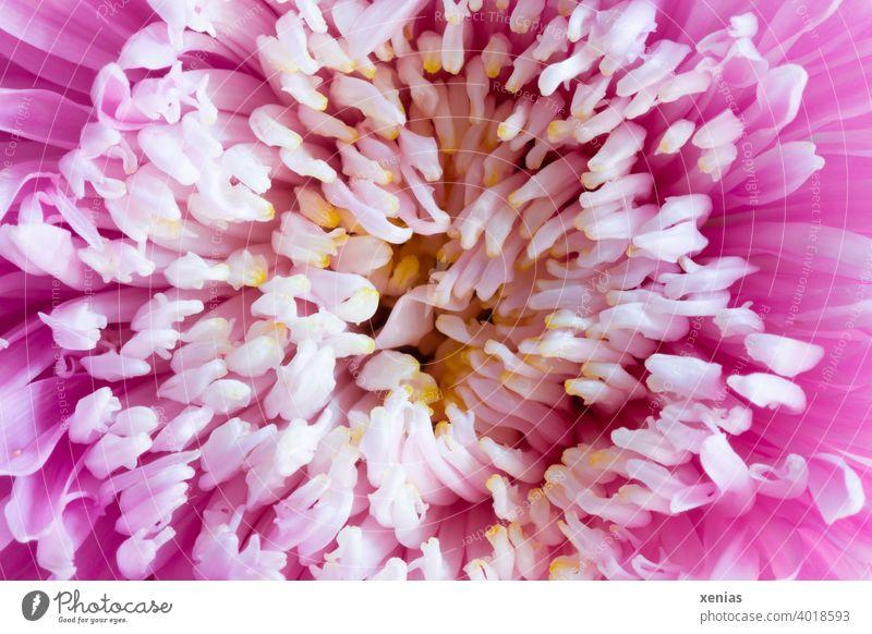 Makroaufnahme: Gefüllte Dahlie in weiß und rosa mit gelbem Kern Dahlienblüte Blüte Blume Pflanze gefüllt Blühend schön Sommer Gartenblume Gartenpflanzen