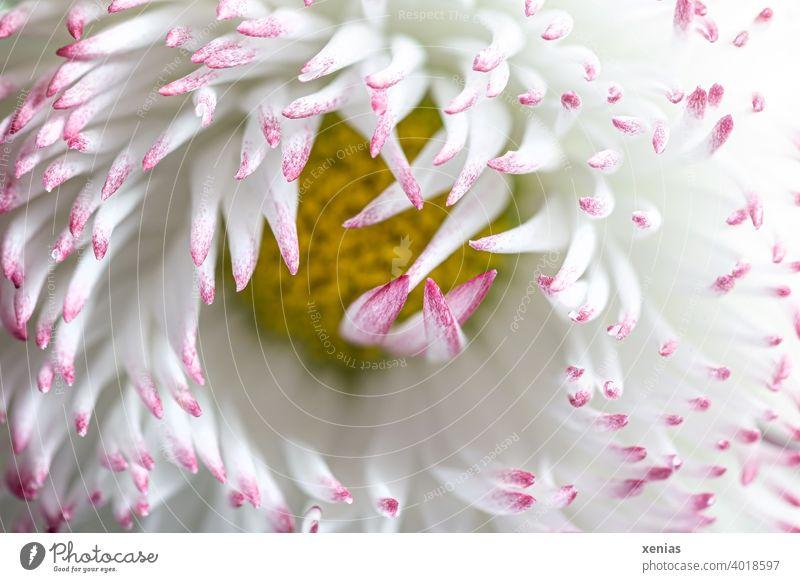 Makroaufnahme: Weißes Gänseblümchen mit rosa Spitzen öffnet sich Blütenblatt weiß gelb Blume Pflanze Gartenpflanze Frühling Sommer Blühend Blütenblätter Bellis