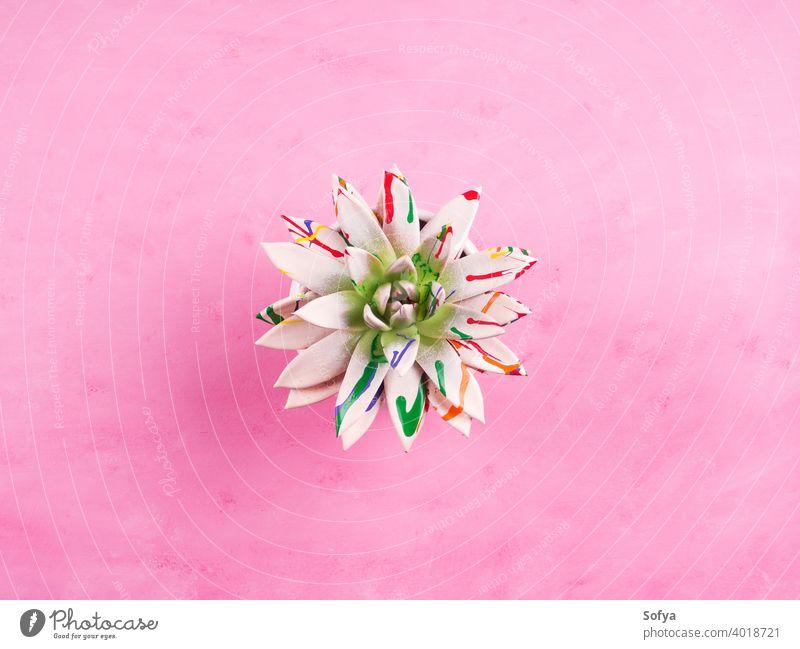 Gemalte Sukkulente auf rosa strukturiertem Hintergrund. Echeveria Pflanze Blume Echeverien Design Sommer Textur abstrakt geblümt Muster Natur Kunst Frühling