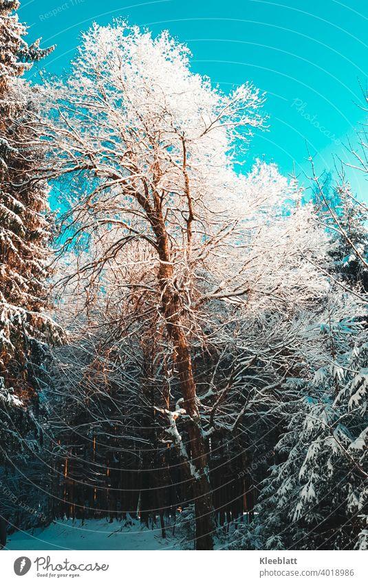 Vereister Baum im Wald bei strahlendem Sonnenschein - Winteridylle - geeister Baum geiste Bäume Schnee Frost Eis kalt Natur weiß Außenaufnahme Menschenleer Tag