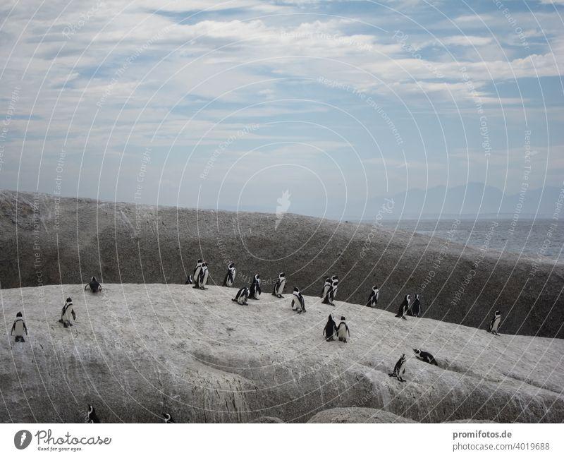 Gruppe von Pinguinen nahe Kapstadt in Südafrika. Foto: Alexander Hauk pinguine tier tiere südafrika brillenpinguin himmel wolken außenaufnahme querformat felsen