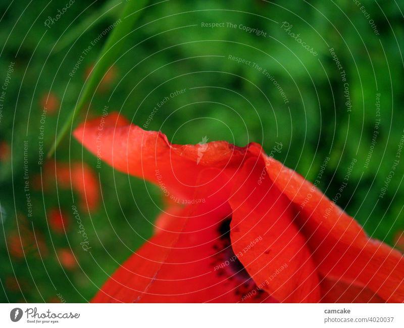 Rote Mohnblume von der Seite vor grüner Wiese Mohnblüte Blume rot schwarz Blütenblatt Leben Natur schön ästhetisch Neugier Vertrauen Hoffnung weiblich feminin