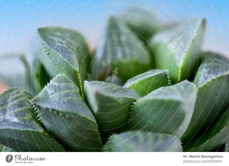 Haworthia magnifica aus Südafrika Sukkulente Varieté acuminata in der Nähe des Flusses Gouritz Rosette