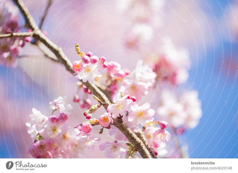 Kirschblüten vor blauem Himmel Kirschbaum Baum Farbfoto Außenaufnahme Frühlingsgefühle rosa Tag Menschenleer Duft Schönes Wetter Umwelt Pflanze Blüte schön