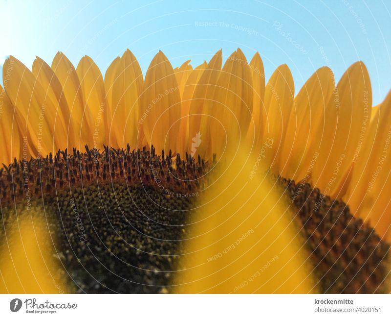 Ring of Fire Sonnenblume Blütenblätter gelb Blauer Himmel blau Natur Pflanze Außenaufnahme Blume Sommer Blütenblatt Nahaufnahme Detailaufnahme natürlich Garten