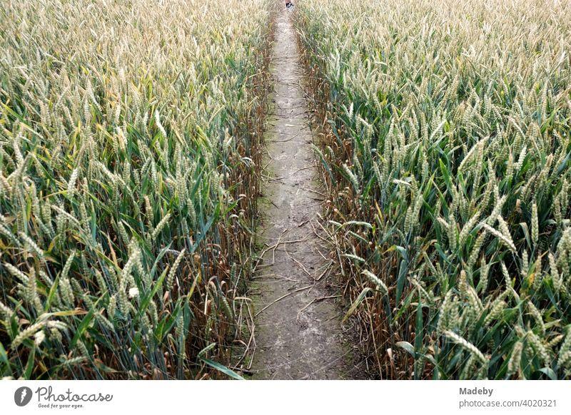 Trampelpfad durch ein Getreidefeld im Sommer zwischen Oerlinghausen und Asemissen bei Bielefeld im Teutoburger Wald in Ostwestfalen-Lippe Weg Pfad Feld