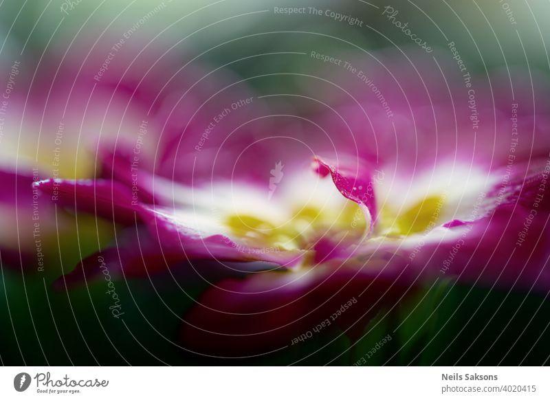 Primrose Primula mit lila roten Blüten. Inspirierende natürlichen floralen Frühling oder Sommer blühenden Garten oder Park unter weichen Sonnenlicht und unscharfen Bokeh Hintergrund. Bunte blühende Ökologie Natur Landschaft