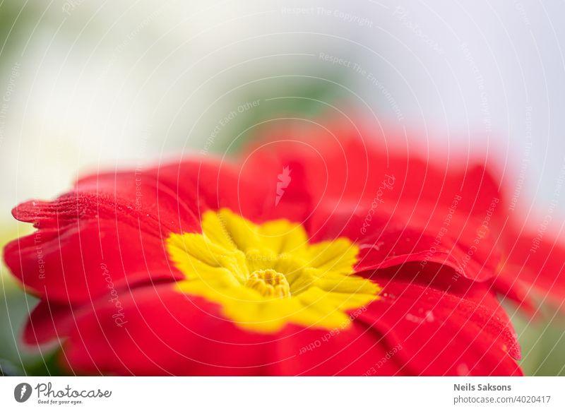 Nahaufnahme von blühenden Schlüsselblumen (Primula vulgaris) Blume rot Natur Blumen gelb Garten Frühling grün Pflanze orange Flora Sommer Blütezeit Schönheit