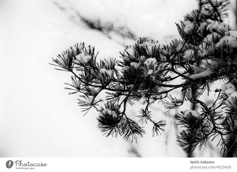 Schneebedeckter Tannenzweig, weißer natürlicher Hintergrund Baum Winter Kiefer Ast Weihnachten Natur Frost Wald kalt grün Immergrün Fichte Saison Nadel Eis