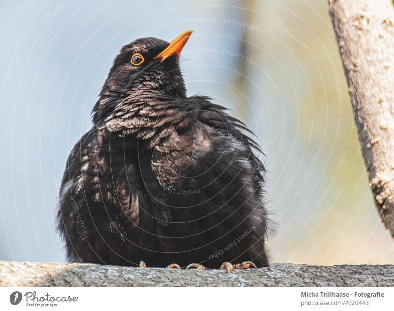 Aufgeplusterte Amsel im Sonnenschein Turdus merula Tierporträt Tiergesicht Kopf Schnabel Auge Feder Flügel Vogel Wildtier Natur aufgeplustert beobachten