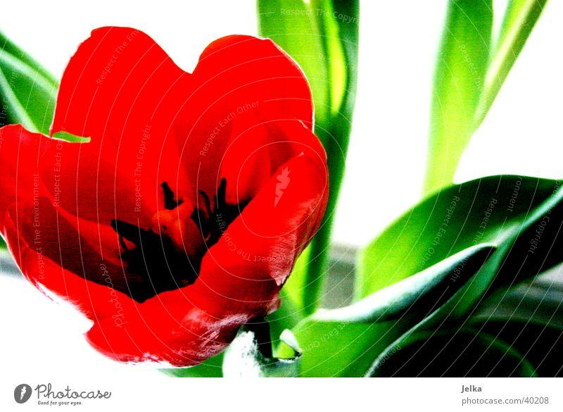 Tulpe Frühling Blume grün rot Botanik Farbfoto Detailaufnahme Menschenleer Textfreiraum rechts