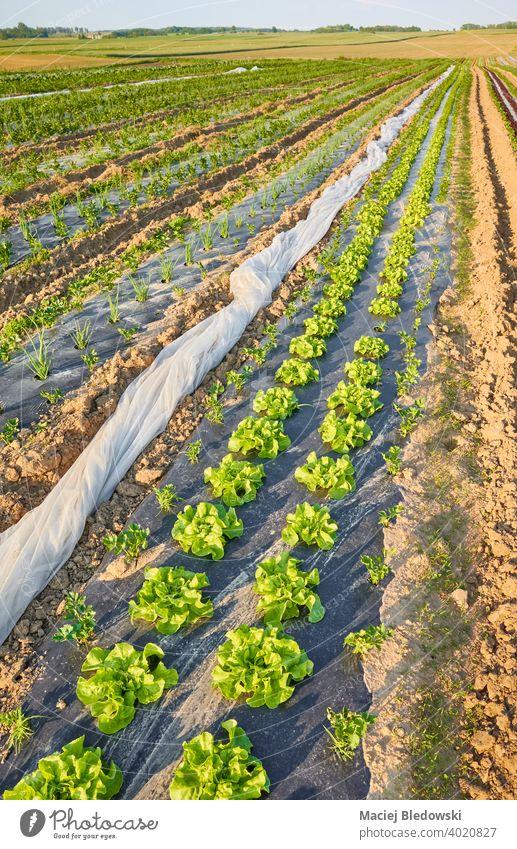 Bio-Gemüsefeld mit Salatbeeten, bedeckt mit Plastikmulch bei Sonnenuntergang. organisch Feld Öko Kunststoff Ackerbau Bauernhof Lebensmittel Mulch Folie