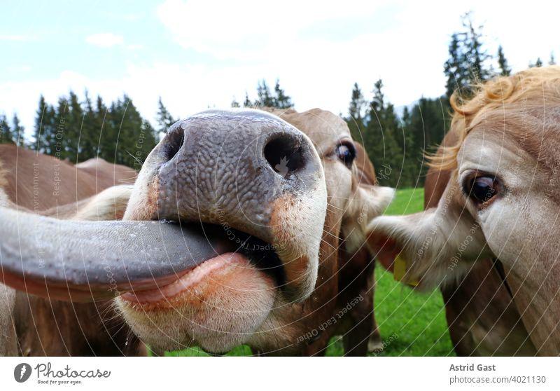 Eine neugierige junge Kuh streckt ihre Zunge heraus kuh braunvieh rind kühe rinder milchkuh kopf augen maul zunge rausstrecken nase nüstern lustig witzig spaßig