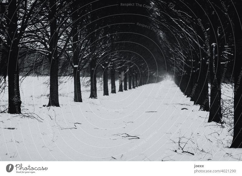 Baumallee,  schneebedeckter Boden, schwarzweiß Allee Bäume dunkel grau Schnee Weg Äste Ferne Nebel Melancholie Perspektive gerade Kälte Landschaft Straße