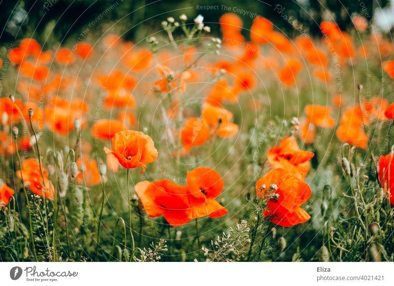 Roter Klatschmohn auf dem Feld Mohn Mohnblumen rot Wiese Frühling blühen Blumen Sommer Blumenwiese Blühend Gras Wiesenblume frühlingswiese