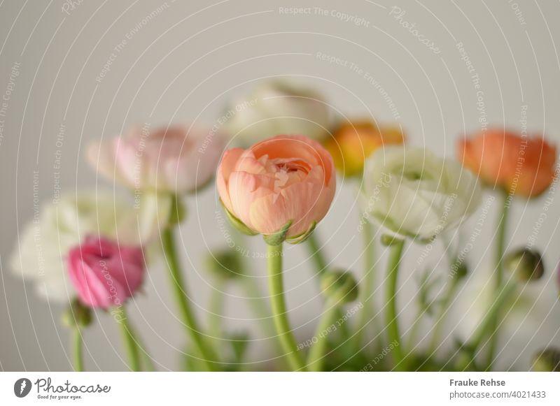 Ranunkelblüten und Knospen in apricot, weiß, rosa und pink, wobei nur die vorderste Blüte (apricot) scharf ist, alles andere ist unscharf. Hintergrund ist weiß.