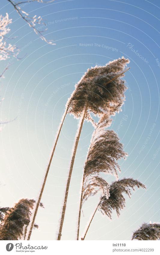 Fruchtstände vom Schilfrohr mit Raureif überzogen leuchten in der Wintersonne Phragmites australis Uferpflanze Teichschilf Ried Riedgras Feuchtwiesen