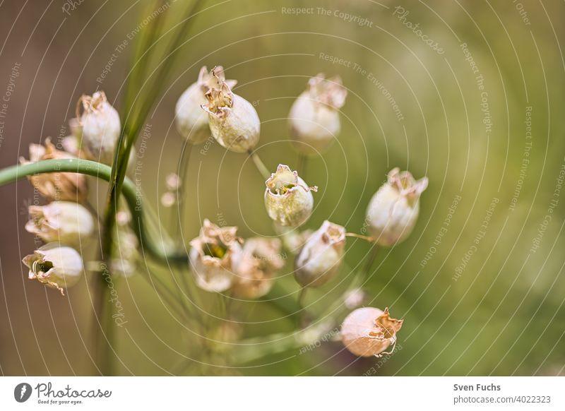 Diese schönen Blütenkelche wachsen im Frühling blume blüte blütenkelch flora grün natur frühling aufblühen pflanze weiß baum sommer makro blatt schönheit