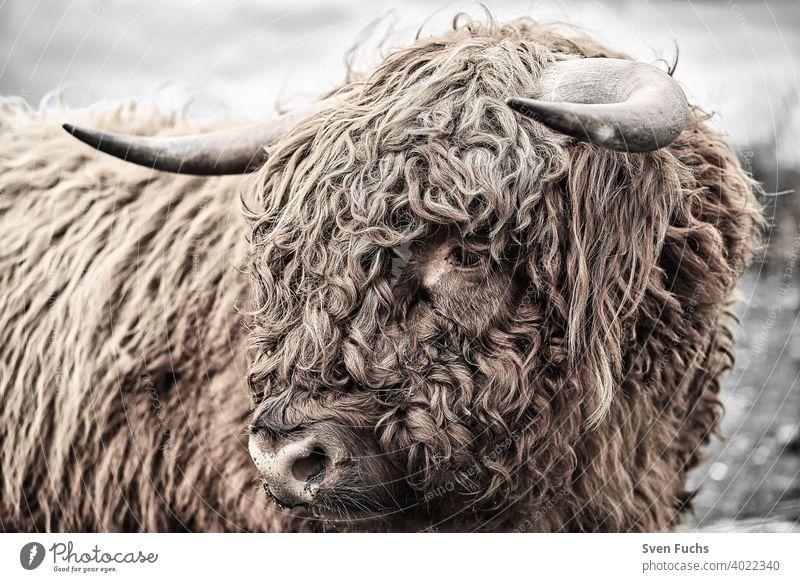 Gesicht eines Galloways mit zotteligen Haaren galloway rind zuchttier landwirtschaft gesicht fell hörner kuh rinder bull highland bison buffalo bauernhof