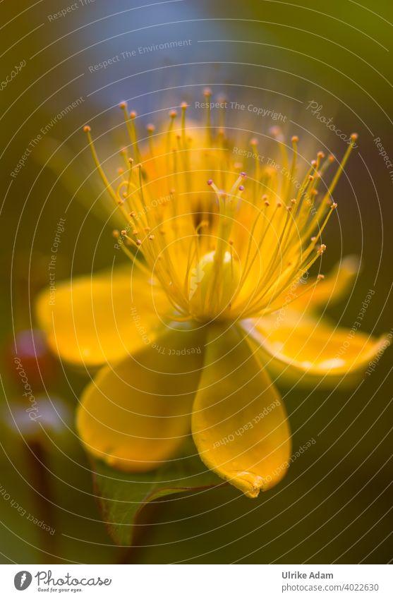 Gelbe Blüte des Blut-Johanniskraut ( Hypericum androsaemum ) Blühend Blume Sommer Pflanze Natur Erholung harmonisch Wellness schön elegant Spa gelb weich