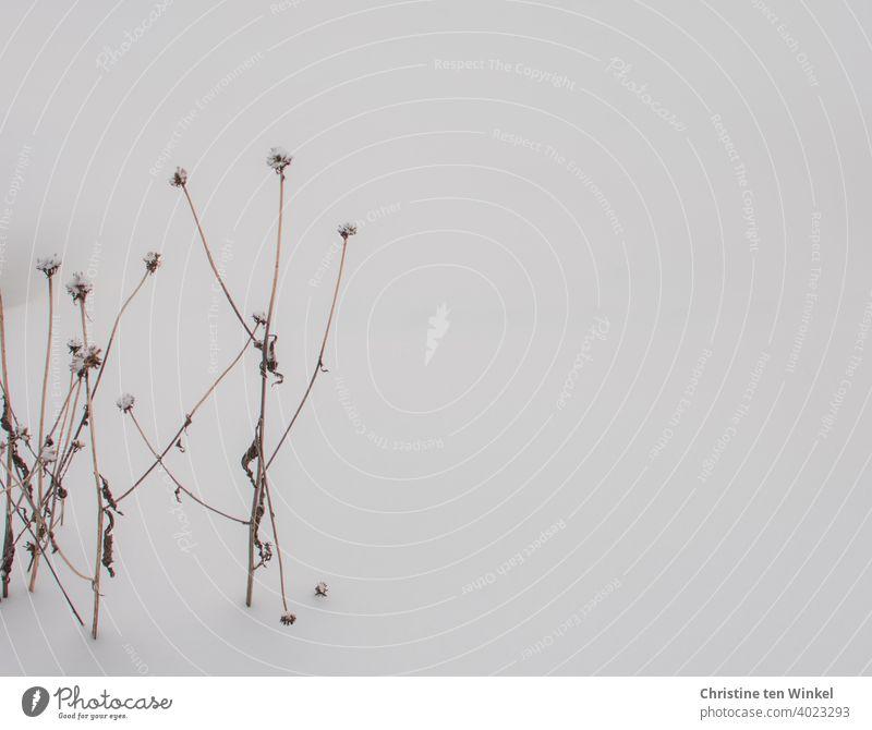 Die vertrockneten Stängel einer Blütenstaude ( Rudbeckia) stehen im Schnee Wintermorgen Wintertag Wunder der Natur gefrieren eiskalt Nahaufnahme weiß schnee