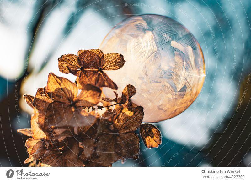Eine gefrorene Seifenblase sitzt auf einer vertrockneten und gefrorenen hellbraunen Hortensienblüte. Beide sind von der tiefstehenden Sonne beleuchtet. Winter