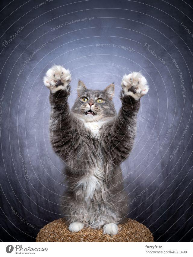 verspielte Maine Coon Katze hebt beide Pfoten Haustiere Fell katzenhaft Langhaarige Katze maine coon katze weiß Textfreiraum Ein Tier Pfoten heben Arme heben