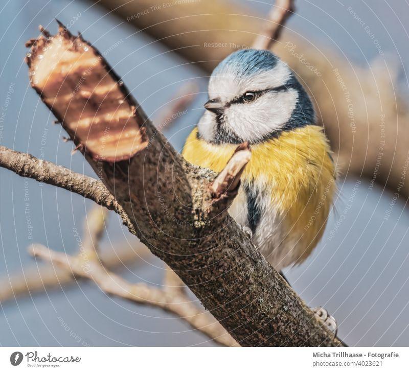 Blaumeise im Baum Cyanistes caeruleus Meisen Vogel Tiergesicht Kopf Schnabel Auge Feder gefiedert Flügel Krallen Wildtier Zweige u. Äste Natur Schönes Wetter