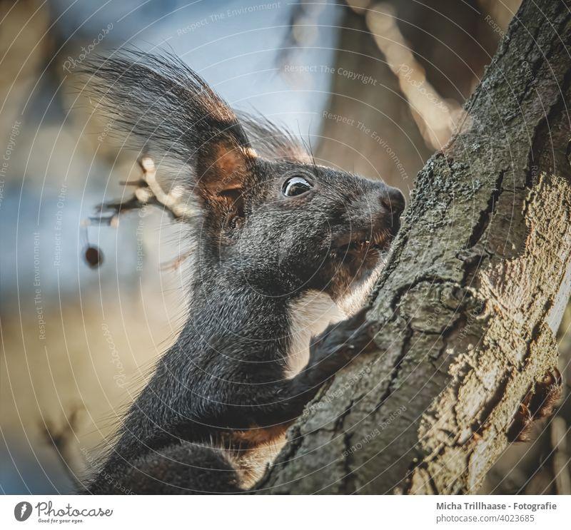 Eichhörnchen klettert am Baumstamm Sciurus vulgaris Tierporträt Tiergesicht Kopf Augen Ohr Nase Maul Pfoten Wildtier Schönes Wetter Sonnenschein Sonnenlicht