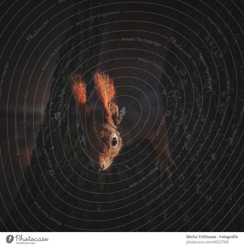 Eichhörnchen in den letzten Sonnenstrahlen des Tages Sciurus vulgaris Kopf Tiergesicht Auge Nase Ohr Maul Krallen Fell Wildtier Nagetiere Natur Baum Sonnenlicht