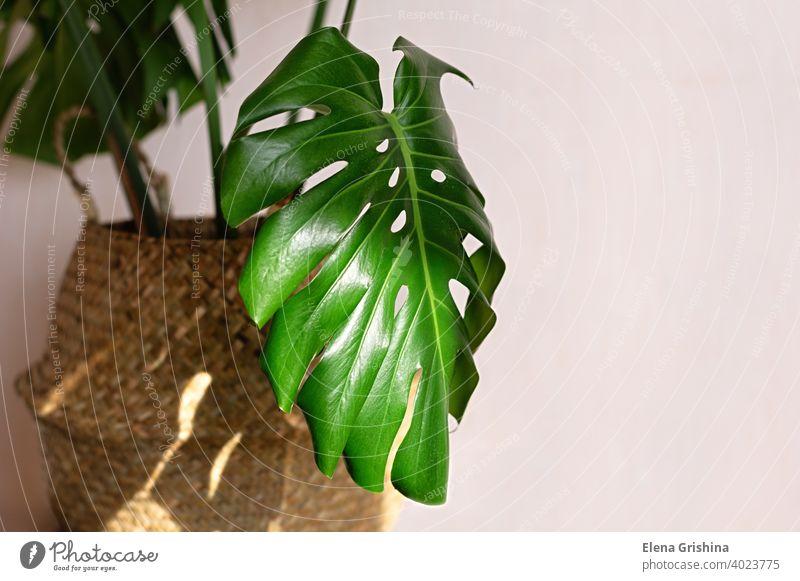 Schöne Monstera-Pflanze für die Heimdekoration. Tropische Pflanzen in der Zimmerfloristik. Nahaufnahme. Fensterblätter Korb tropisch Haus Blatt