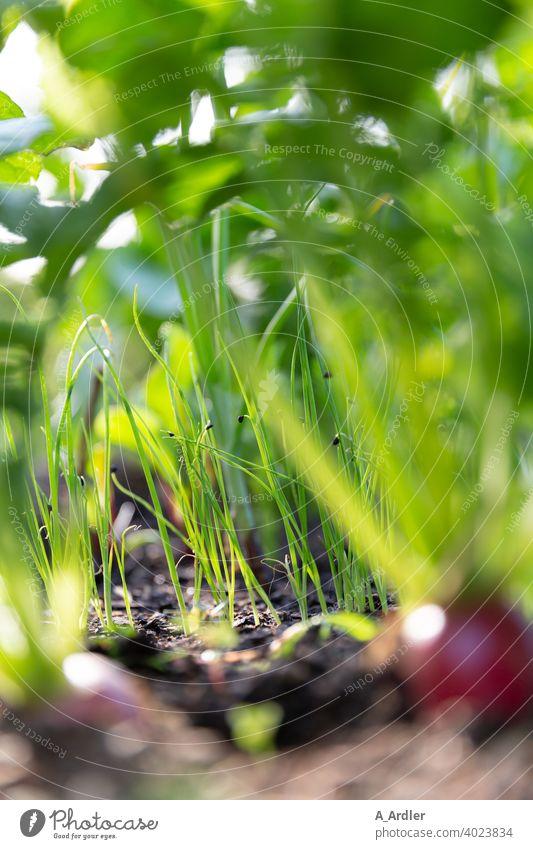 Nahaufnahme von Lauchzwiebeln im Gemüsebeet Zwiebel Lauchgemüse lauch lauchzwiebeln Makroaufnahme makrofotografie grün Gemüsegarten gemüseanbau Gemüsemarkt